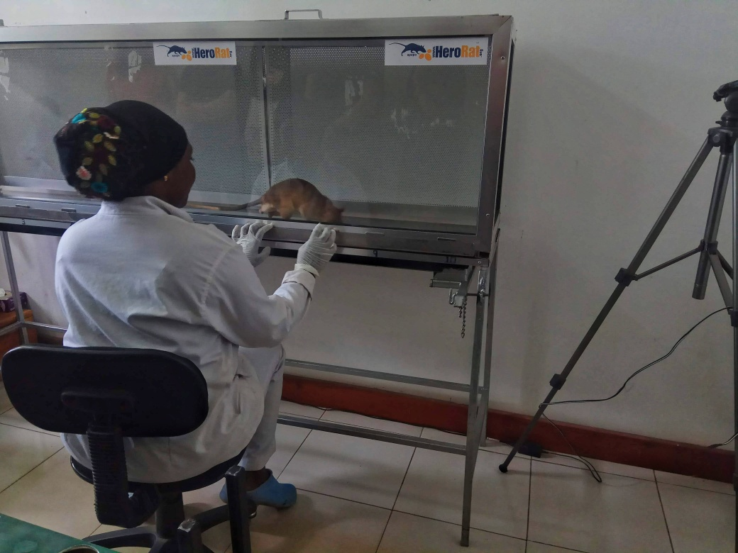 A rat examining TB samples in the laboratory