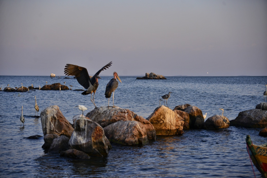 Maribou Storks and water birds on the rocky shore