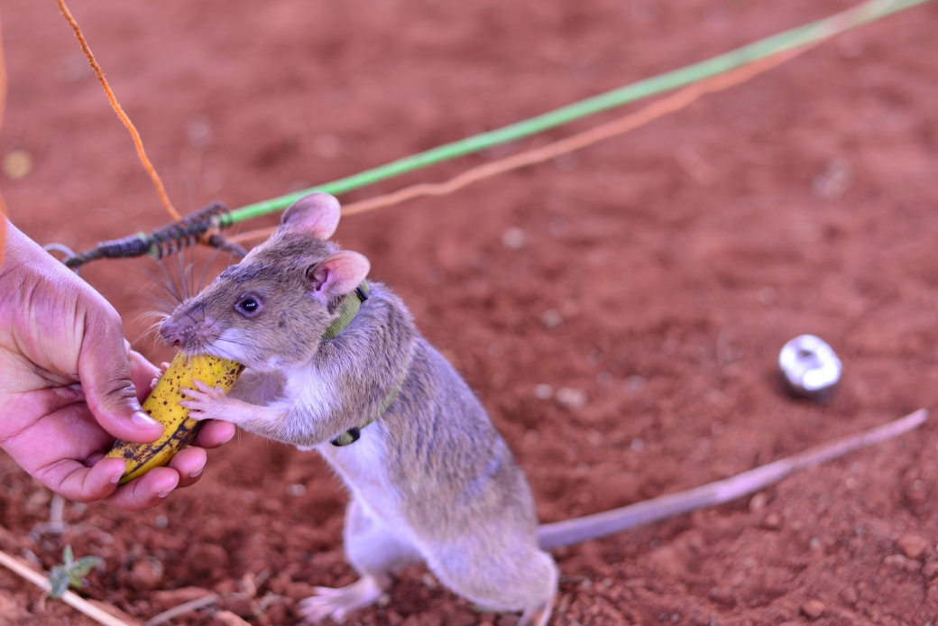 A rat enjoying a banana treat after successfully signalling that it had detected TNT during a training session