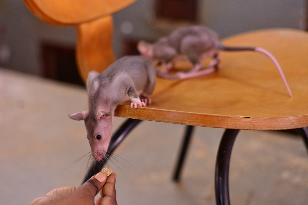 Baby rats on a chair