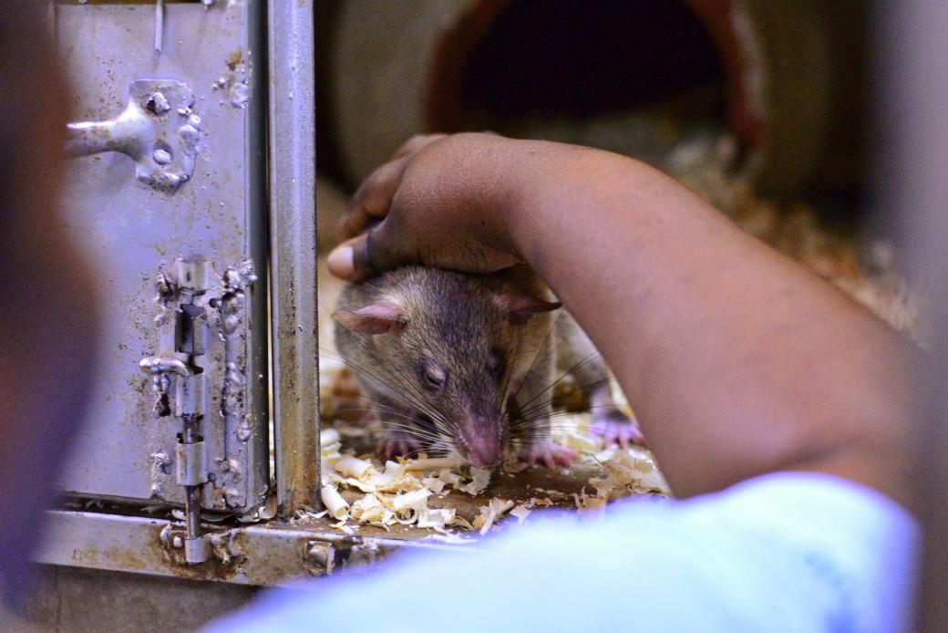A rat enjoying a back scratch