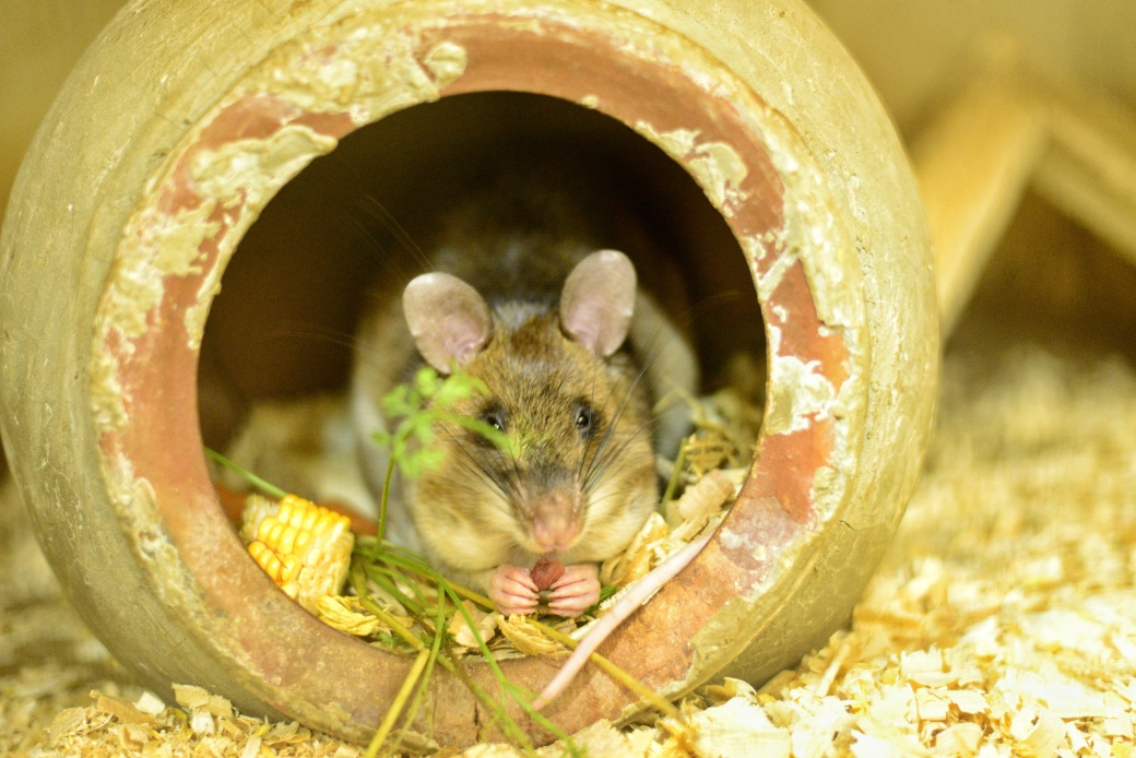 A rat nibbling on a treat whilst sitting in his nest