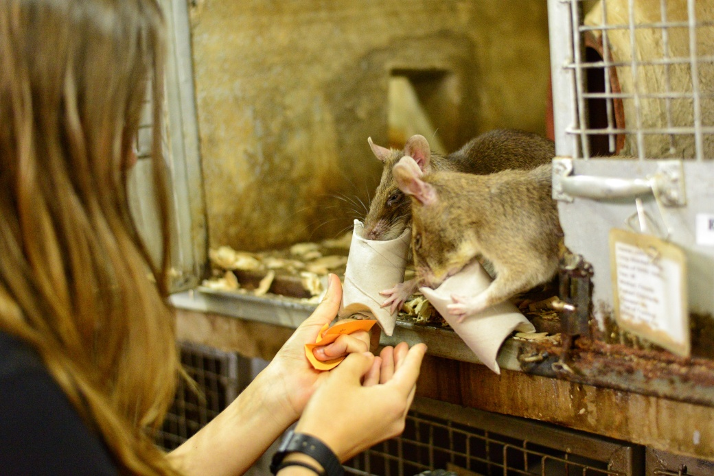Ellie feeding treats to two rats in a challenging package for them to extract treats from
